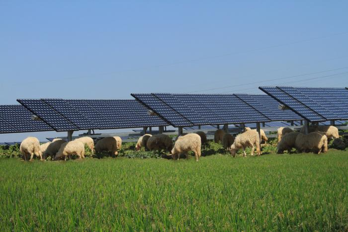 Sheep graze underneath SunPower solar panels in Italy.