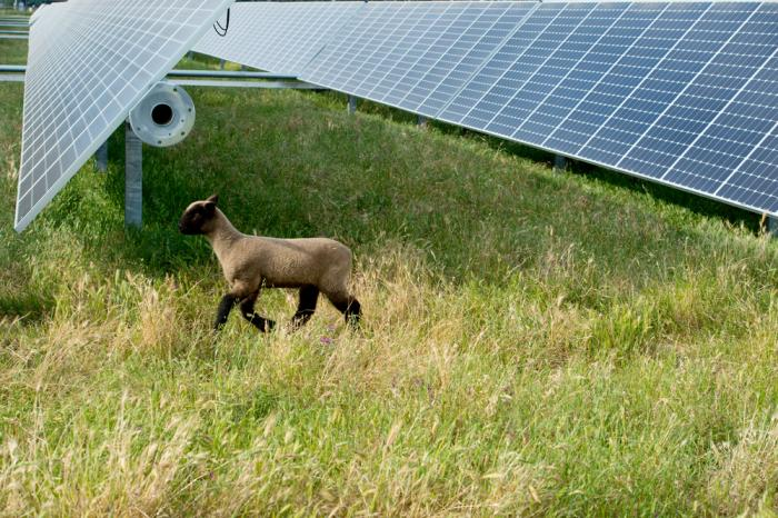 SunPower ground solar systems safely co-exist with agricultural uses including sheep grazing.